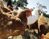 直営養鶏場情報
