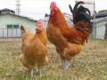常に鶏に向き合い、様々な角度から鶏を見つめる